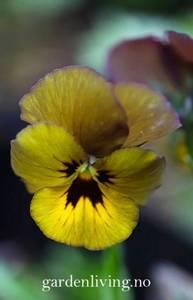 Bilde av Stemorsblomst 'Envy' - Viola x wittrockiana