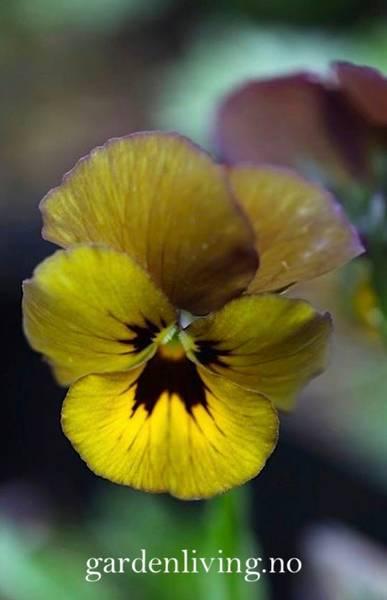 Stemorsblomst 'Envy' - Viola x wittrockiana